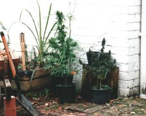 mj plants