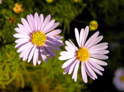 cut-leaf-daisy-cjw