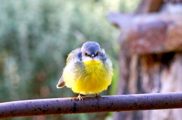 yellow-robin-on-fence-staring-cjw