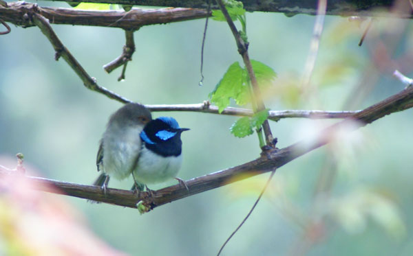 blue-wrens-in-love-p