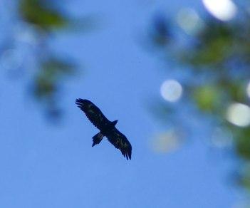 eagle-and-eucalypt-foliage