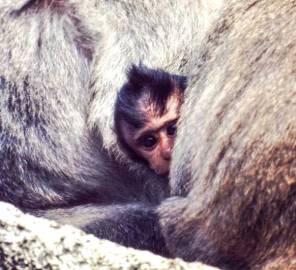 monkey-peeking-p